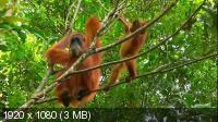 Человекообразные обезьяны / Human Ape (2017) HDTV 1080i